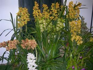 Orchidee a Fior d'Albenga